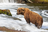 USA, Alaska, Katmai National Park, Brown bear (Ursus arctos) at Brooks Falls, foraging - FOF005911