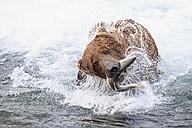 USA, Alaska, Katmai National Park, Brown bear (Ursus arctos) at Brooks Falls with caught salmon - FOF005970