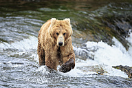 USA, Alaska, Katmai National Park, Brown bear (Ursus arctos) at Brooks Falls, foraging - FO005971