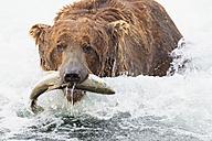 USA, Alaska, Katmai National Park, Brown bear (Ursus arctos) at Brooks Falls with caught salmon - FO005972