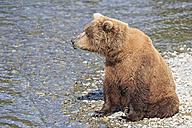USA, Alaska, Katmai National Park, Brown bear (Ursus arctos) at Brooks Falls, sitting - FOF005974