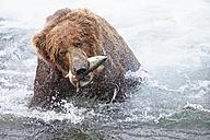 USA, Alaska, Katmai National Park, Brown bear (Ursus arctos) at Brooks Falls with caught salmon - FOF005993