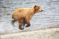 USA, Alaska, Katmai National Park, Brown bear (Ursus arctos) at Brooks Falls, running - FOF005995