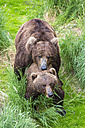 USA, Alaska, Katmai National Park, Brown bears (Ursus arctos) mating - FOF005958