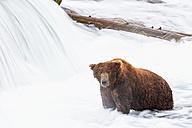 USA, Alaska, Katmai National Park, Brown bear (Ursus arctos) at Brooks Falls, foraging - FOF005915