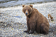 USA, Alaska, Katmai National Park, Brown bear (Ursus arctos) at Brooks Falls, sitting - FO005961