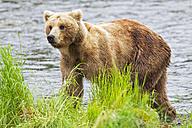 USA, Alaska, Katmai National Park, Brown bear (Ursus arctos) at Brooks Falls, walking - FOF006014