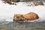 USA, Alaska, Katmai National Park, Brown bear (Ursus arctos) at Brooks Falls, foraging - FO006019