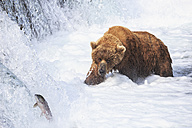 USA, Alaska, Katmai National Park, Brown bear (Ursus arctos) at Brooks Falls, foraging - FOF006021