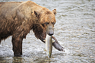 USA, Alaska, Katmai National Park, Brown bear (Ursus arctos) at Brooks Falls with caught salmon - FOF006030