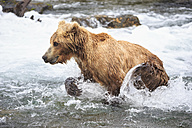 USA, Alaska, Katmai National Park, Brown bear (Ursus arctos) at Brooks Falls, foraging - FOF005976