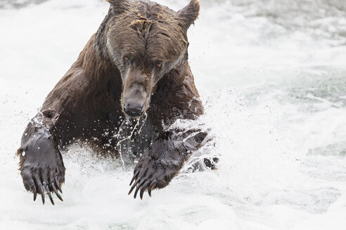 USA, Alaska, Katmai National Park, Brown bear (Ursus arctos) at Brooks Falls, foraging - FOF005980