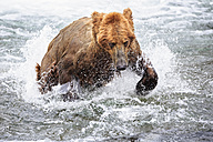 USA, Alaska, Katmai National Park, Brown bear (Ursus arctos) at Brooks Falls, foraging - FOF006040