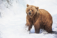 USA, Alaska, Katmai National Park, Brown bear (Ursus arctos) at Brooks Falls, foraging - FO006007