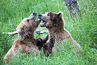 USA, Alaska, Katmai National Park, Playing Brown bears (Ursus arctos), young animals - FOF006008