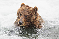 USA, Alaska, Katmai National Park, Brown bear (Ursus arctos) at Brooks Falls, foraging - FOF006011