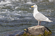 USA, Alaska, Katmai Nationalpark, King Salmon, Brooks Falls, Herring gull (Larus argentatus) - FOF005904