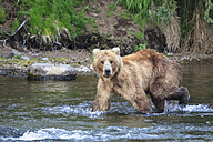 USA, Alaska, Katmai National Park, Brown bear (Ursus arctos) at Brooks Falls, foraging - FO005984