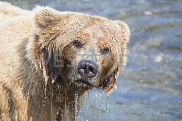 USA, Alaska, Katmai National Park, Brown bear (Ursus arctos) at Brooks Falls, foraging - FOF005987