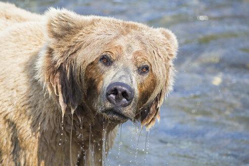 USA, Alaska, Katmai National Park, Brown bear (Ursus arctos) at Brooks Falls, foraging - FOF005987