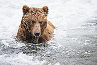 USA, Alaska, Katmai National Park, Brown bear (Ursus arctos) at Brooks Falls, foraging - FO005991