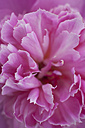 Pink peony (Paeonia officinalis), close-up - TCF003912
