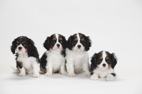 Cavalier King Charles Spaniel, puppies, tricolour - HTF000360