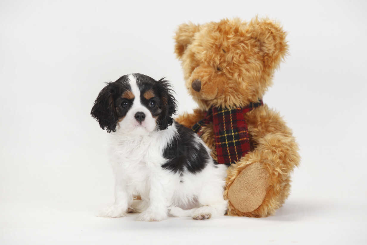 Cavalier King Charles Spaniel Puppy Tricolour With Teddy Bear Htf000359 Peewee Westend61