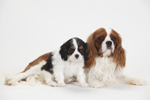 Cavalier King Charles Spaniel, male and puppy, blenheim and tricolour - HTF000357