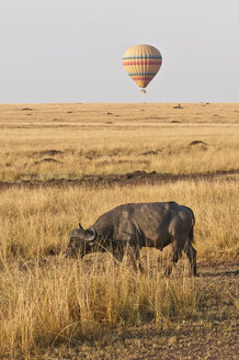 Africa, Kenya, Maasai Mara National Reserve, African Buffalo or Cape buffalo (Syncerus caffer) in in the tall grass, in front of a hot air balloon - CB000309
