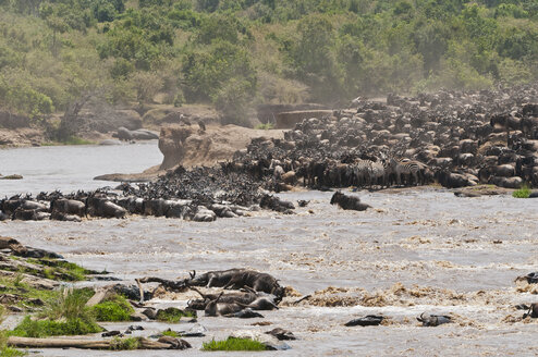 Africa, Kenya, Maasai Mara National Reserve, Blue or Common Wildebeest (Connochaetes taurinus), during migration, wildebeests crossing the Mara River - CB000289