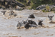 Africa, Kenya, Maasai Mara National Reserve, A group of Blue Wildebeest (Connochaetes taurinus) crossing the Mara River - CB000285