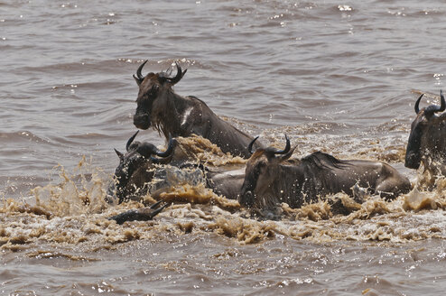 Africa, Kenya, Maasai Mara National Reserve, A group of Blue Wildebeest (Connochaetes taurinus) crossing the Mara River - CB000284