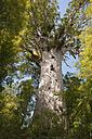 New Zealand, North Island, Northland, Waipoua Forest, Tane Mahuta, giant kauri tree (Agathis australis) - JB000062