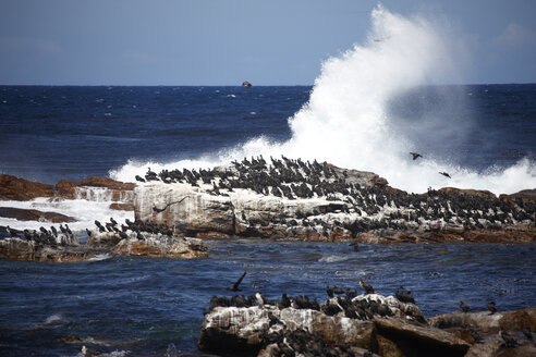 South Africa, Cape of Good Hope, Cape cormorants sitting on rock - AKF000290