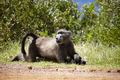 South Africa, Cape baboon - AKF000292
