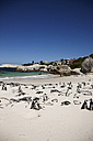 South Africa, Simonstown, Black-footed penguins - AKF000294