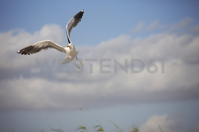 South Africa, Seagull, mid-air - AKF000299
