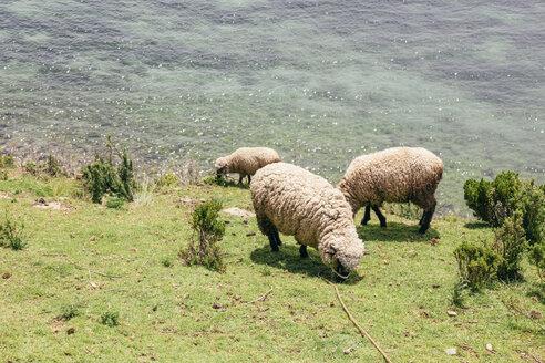 South America, Bolivia, Lake Titicaca, Sheeps grazing on meadow - AMCF000063