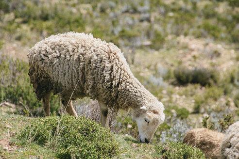 South America, Bolivia, Lake Titicaca, Sheep grazing on a meadow - AMCF000046