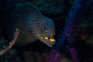 Oman, starry moray (Gymnothorax nudivomer) - ZCF000004