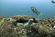 Oman, Daymaniyat Islands, diver and white-eyed moray (Gymnothorax thrysoideus) in front - ZCF000013