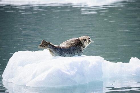 USA, Alaska, Seward, Resurrection Bay, harbour seal (Phoca vitulina) lying on an ice floe - FOF006051
