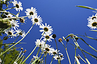 Marguerites (Leucanthemum) in front of blue sky, view from below - GWF002592