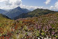 Austria, Vorarlberg, Verwall Alps, Meadow with Heather (Calluna vulgaris) at Sonnenkopf, in teh background left Hochjoch - SIEF005084