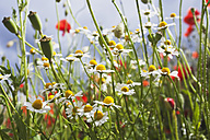 Meadow of red poppies (Papaver rhoeas) and German chamomile (Matricaria chamomilla) - GWF002597