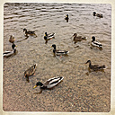 Germany, Baden-Wuerttemberg, Titisee-Neustadt, Ducks swimming - IPF000054