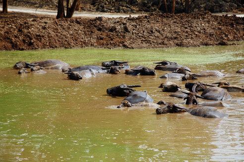 Thailand, Kanchanaburi, Wat Pha Luang Ta Bua, View of water buffaloes in water - ZC000020