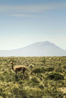 Peru, Piura, Puno, Andes, vicuna (Vicugna vicugna) on the landscape - KRP000325