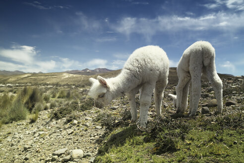 Peru, Piura, Puno, Andes, two white baby llamas (Lama glama) grazing - KRP000321